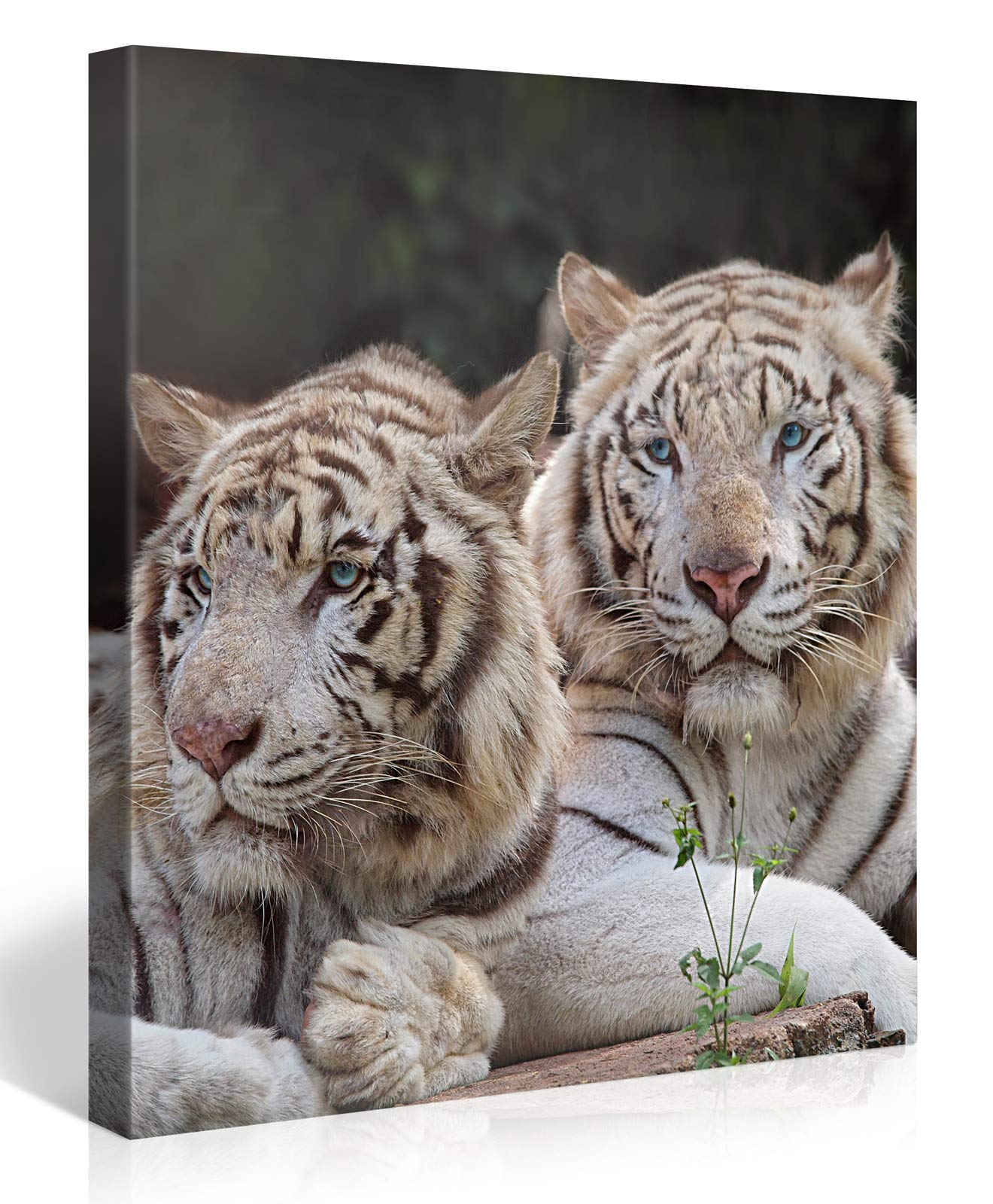 TWO WHITE TIGERS 80x80cm #e4162