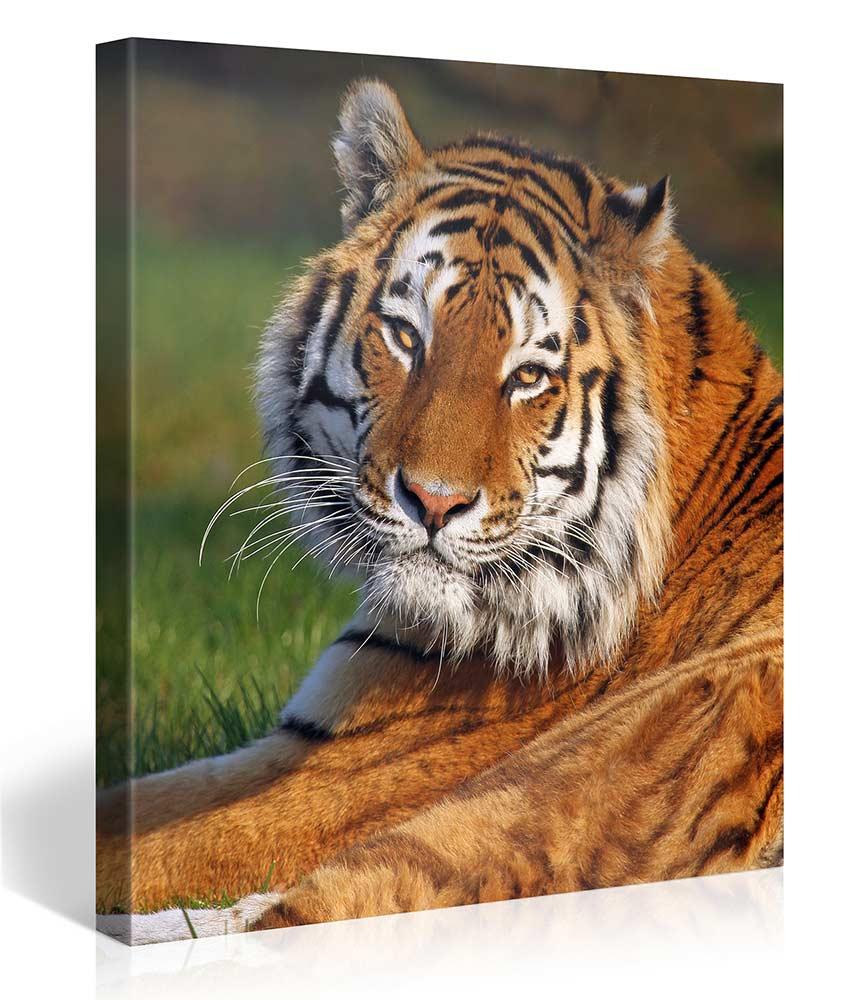 EYES OF TIGER 80x80cm - #e3595